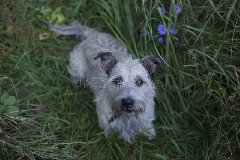 Great dane-puppy die zich bij gras het kijken bevinden stock foto's