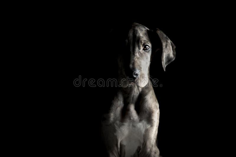Great dane-puppy in dramatisch portret stock foto