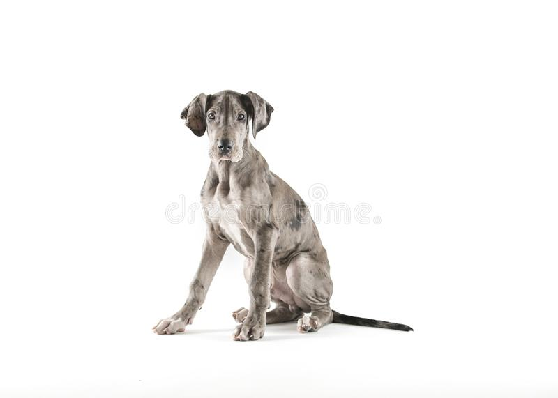 Great dane-puppy in studio stock afbeelding
