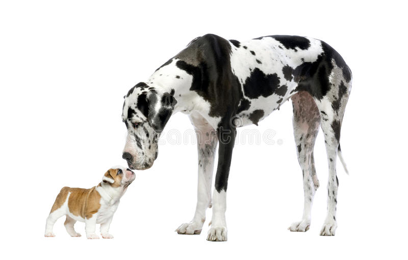 Great dane regardant un chiot de bouledogue français images libres de droits