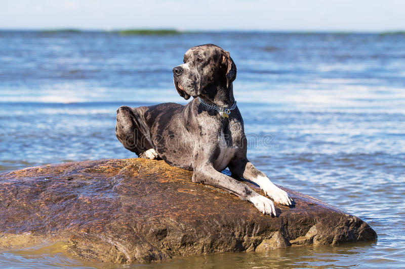 Download Great dane on rock stock photo. Image of black, water - 26284006