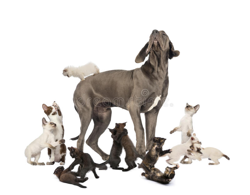 Great Dane standing in the middle of cats playing. Isolated on white royalty free stock photography