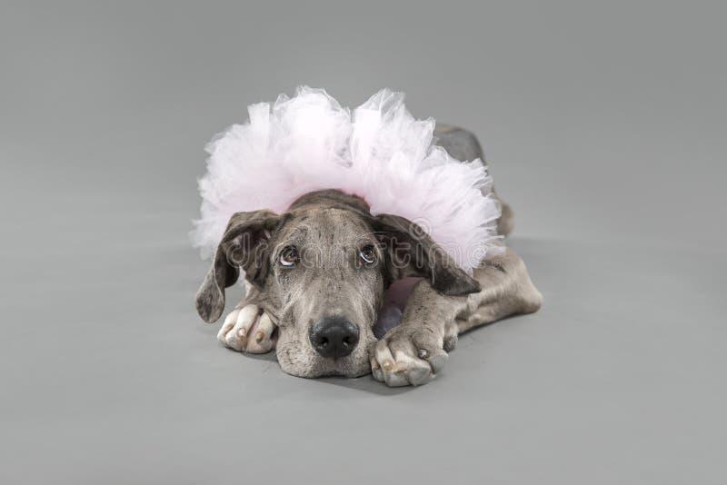 Great Dane szczeniak w różowej spódniczce baletnicy obraz royalty free