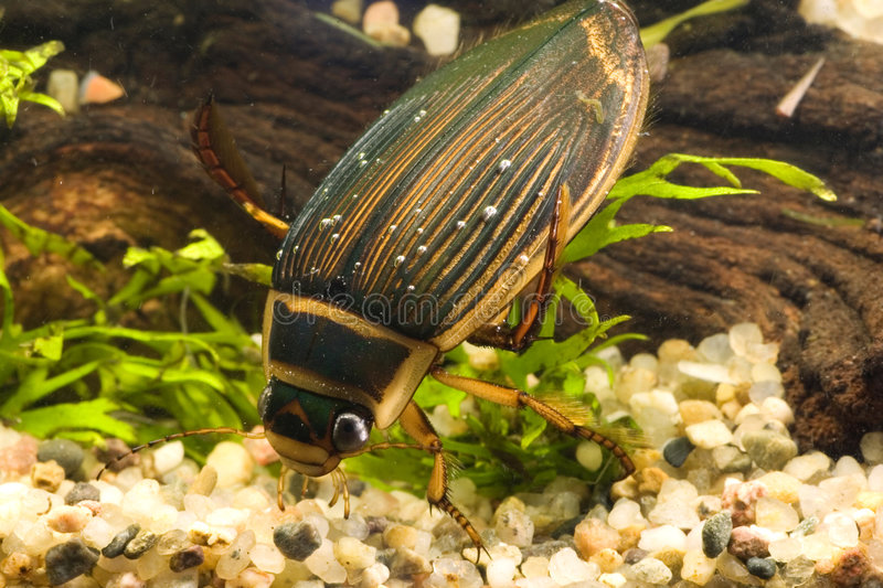 Great diving beetle stock photography