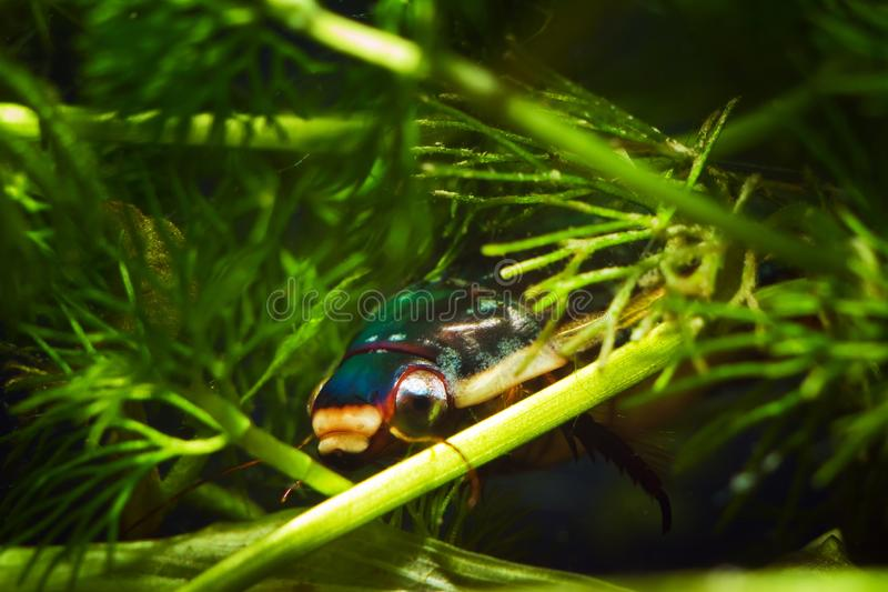 Great diving beetle, Dytiscus marginalis, male hide in dense hornwort vegetation, wide-spread wild freshwater insect royalty free stock images