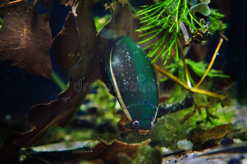 Great diving beetle, Dytiscus marginalis, male search for prey in dense hornwort vegetation, wide-spread wild freshwater insect stock photo