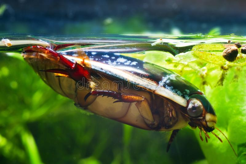 Great diving beetle, Dytiscus marginalis, male swims at water top in dense hornwort vegetation, wide-spread wild freshwater insect royalty free stock photos