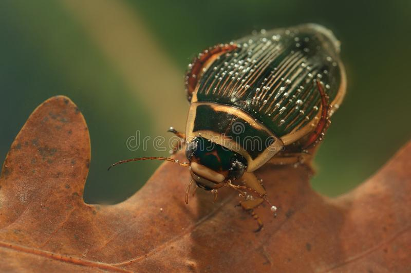 The Great diving Beetle (Dytiscus marginalis) royalty free stock photo