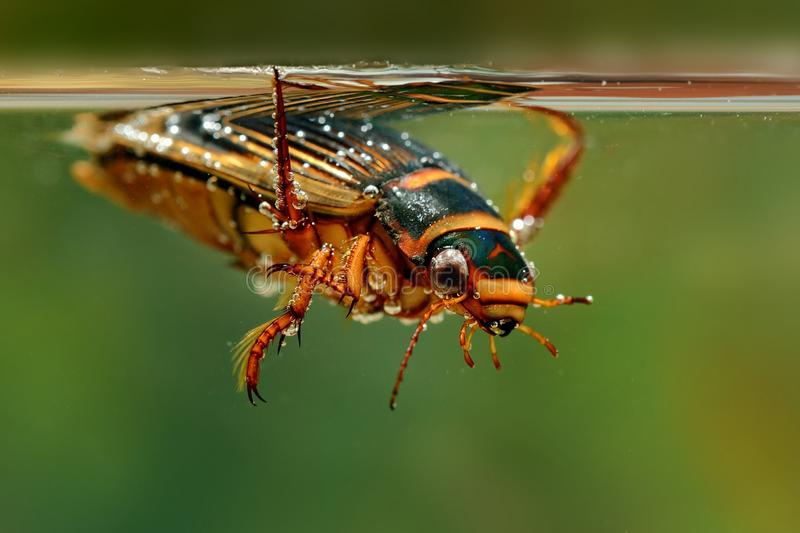 The Great diving Beetle (Dytiscus marginalis) stock images