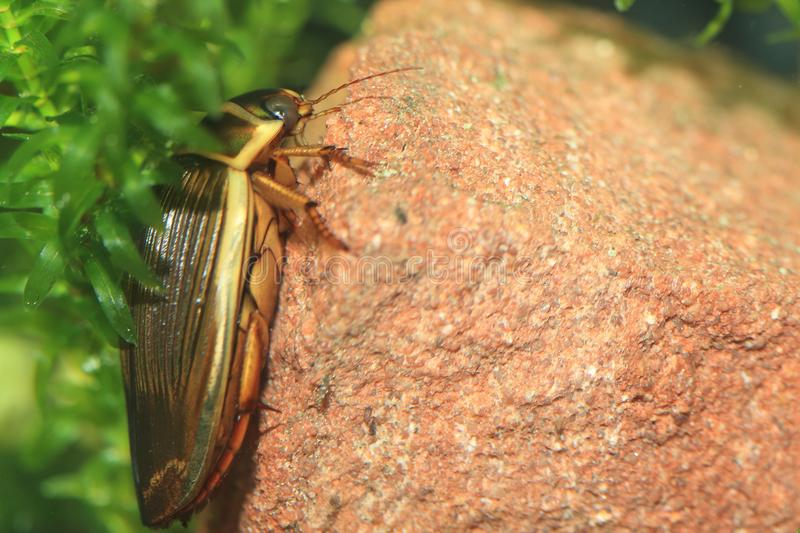 Great diving beetle royalty free stock photo