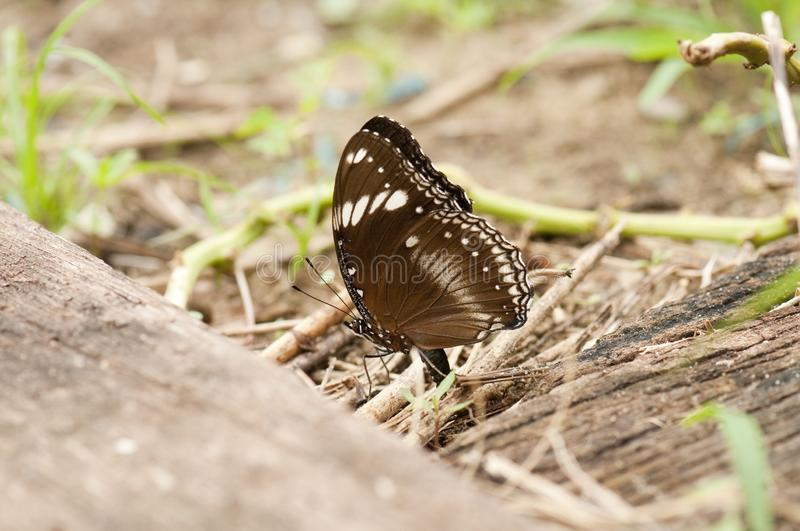 Great Eggfly butterfly is on the ground royalty free stock photo
