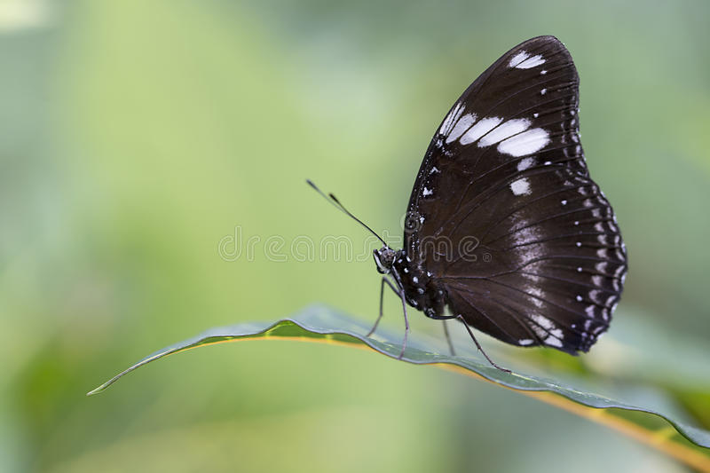 Great Eggfly Butterfly stock images