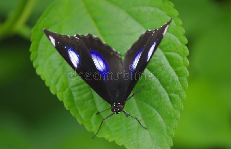 Great Eggfly, butterfly, nature. Great Eggfly sitting on the leaf of the wild plant. beautiful and natural view stock images