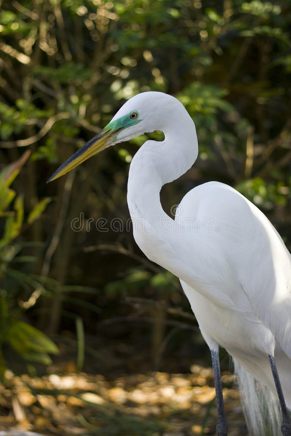 Download Great Egret stock photo. Image of exotic, great, jungle - 13460234