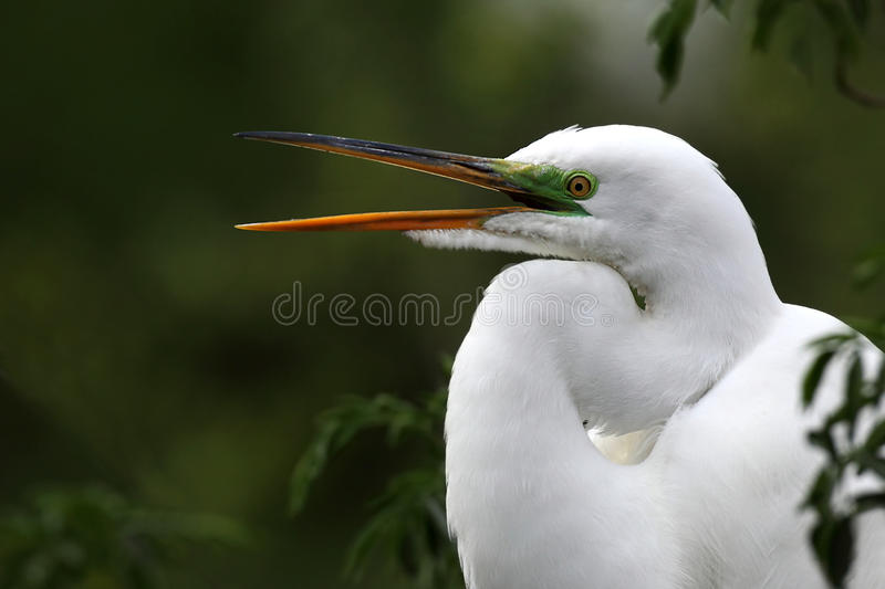 Great Egret. Closeup of a Great Egret with it's beak open in breeding plumage stock images