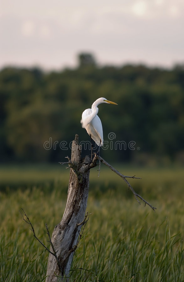 Great Egret. Surveying Horicon Marsh in southern Wisconsin royalty free stock photos