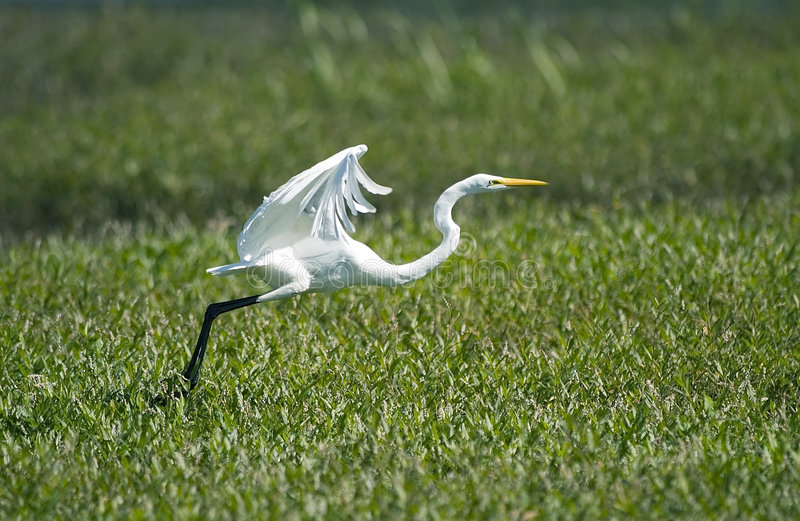 Great Egret. Takes flight at Muscatatuck NWR in southern Indiana stock photography