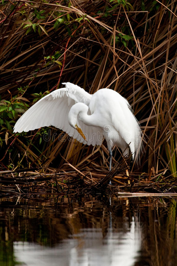 Download Great Egret Stock Images - Image: 17605594