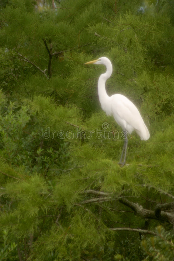Download Great Egret stock photo. Image of white, conservancy, trees - 198878
