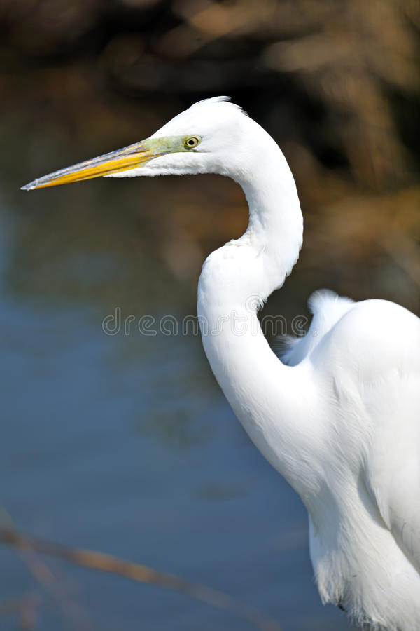Download Great Egret Stock Photos - Image: 20445273