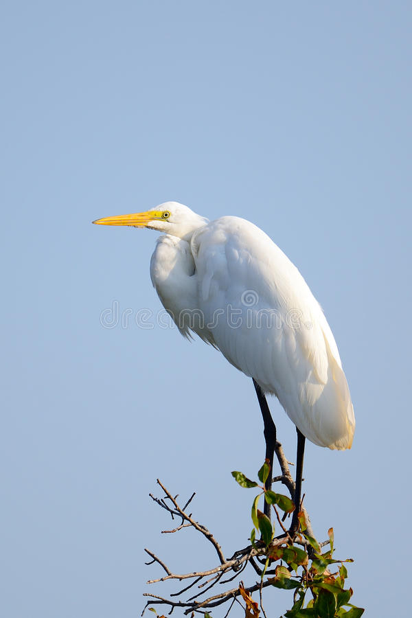 Download Great Egret Stock Photography - Image: 20579912