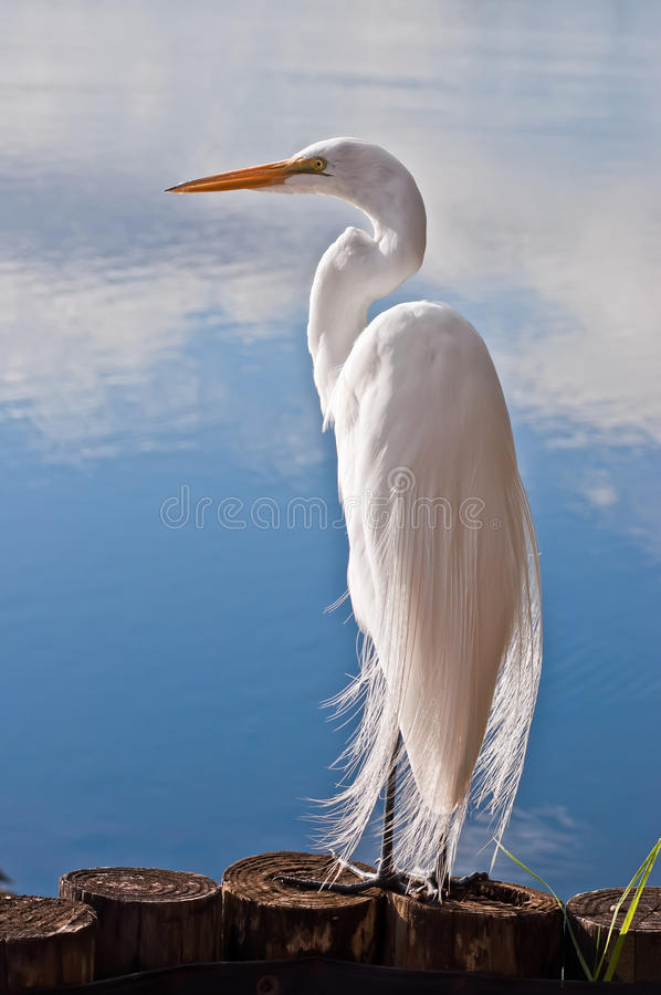 Free Great Egret Royalty Free Stock Images - 22746299