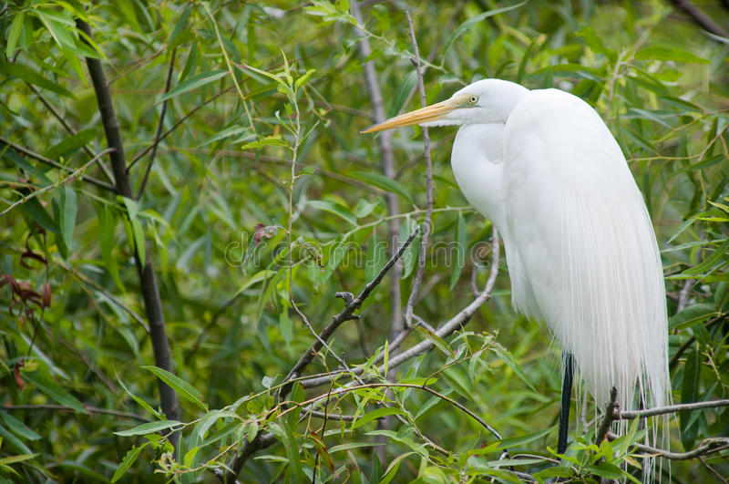 Download Great Egret stock image. Image of great, south, egret - 25233391