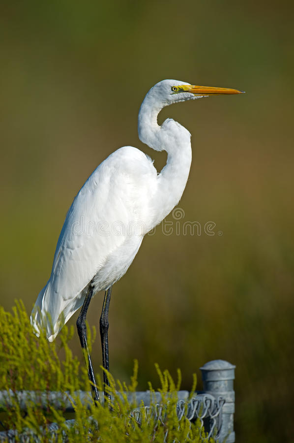 Download Great Egret stock photo. Image of colorful, ocean, feather - 26564990