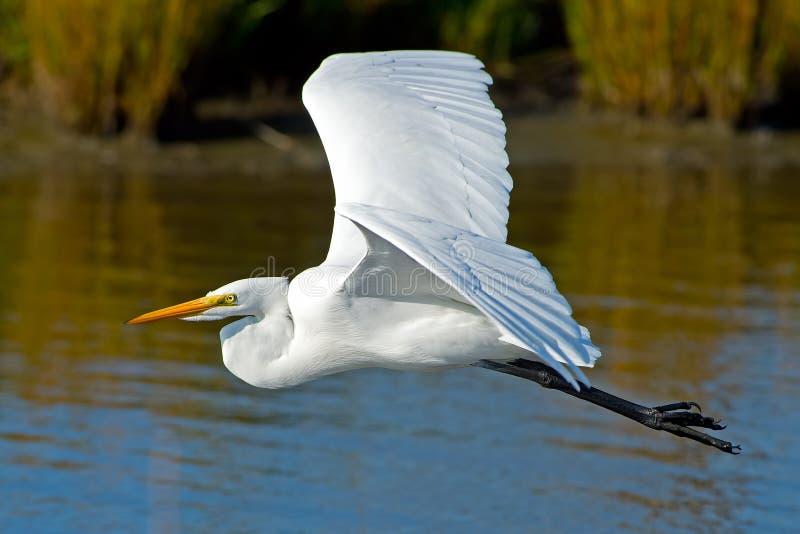 Download Great Egret stock image. Image of beak, lake, swim, wings - 27128549