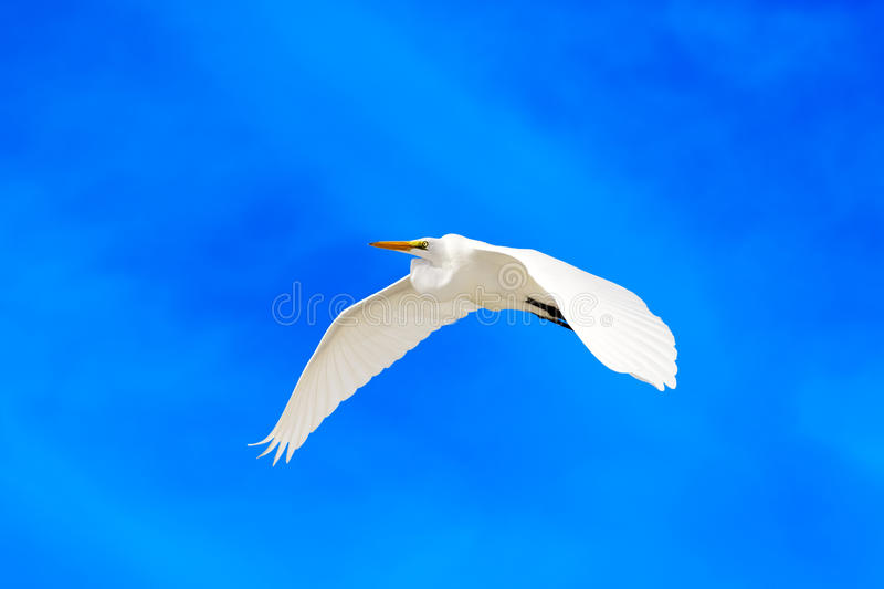 Download Great egret stock photo. Image of nature, ecology, flight - 28649780