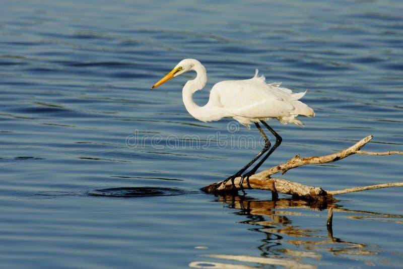 Great Egret stock image