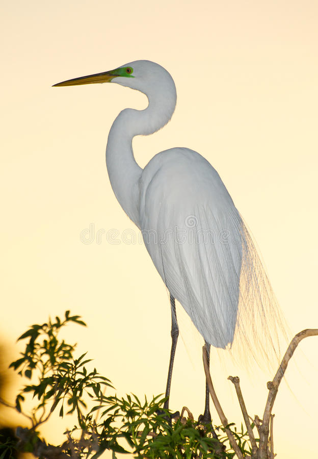 Download Great Egret, Ardea alba stock photo. Image of ardea, great - 18793208