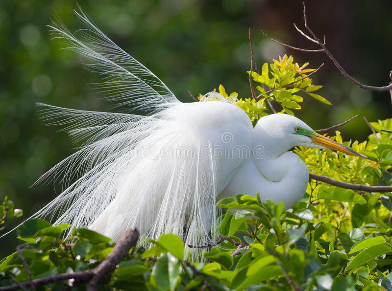 Great Egret. (Ardea alba) in breeding plumage royalty free stock images
