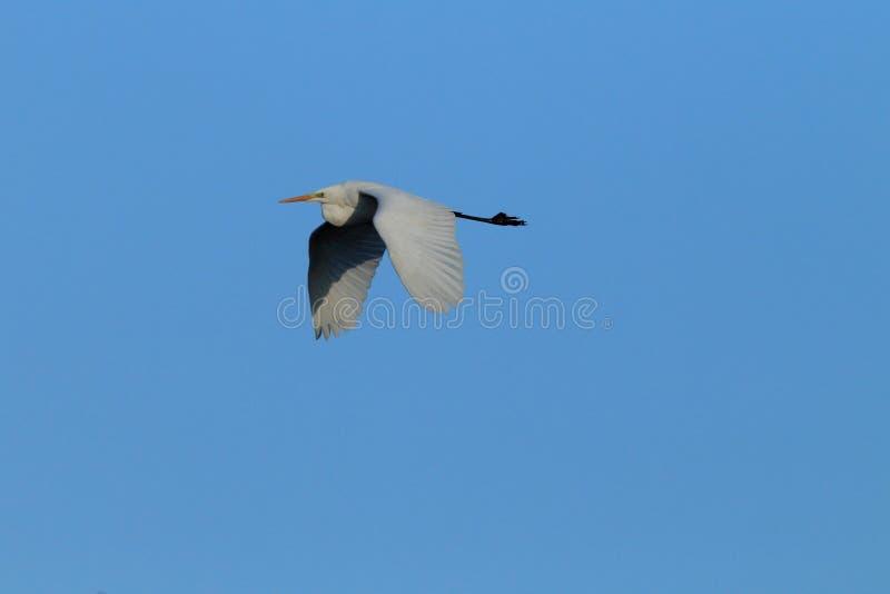 Great Egret (Ardea alba) Duitsland royalty-vrije stock afbeelding