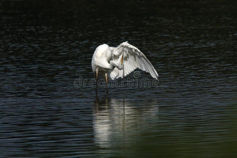 Great Egret (Ardea alba) Duitsland stock foto