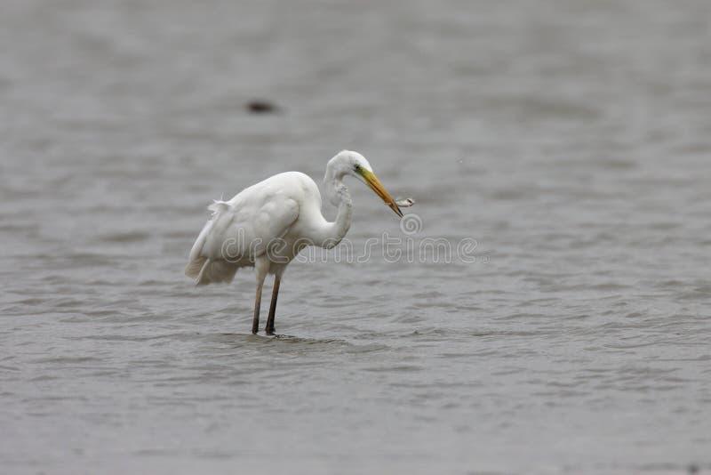 Great Egret (Ardea alba) Duitsland stock foto's