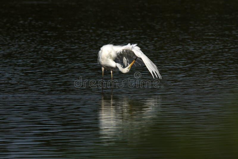 Great Egret (Ardea alba) Duitsland stock afbeeldingen