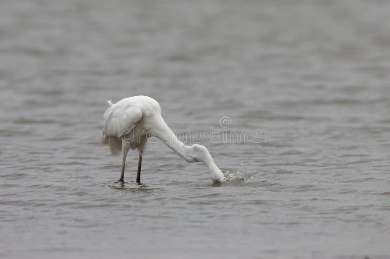 Great Egret (Ardea alba) Duitsland stock fotografie