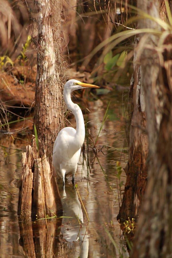 Great Egret (Ardea alba) in Everglades National Park stock photo