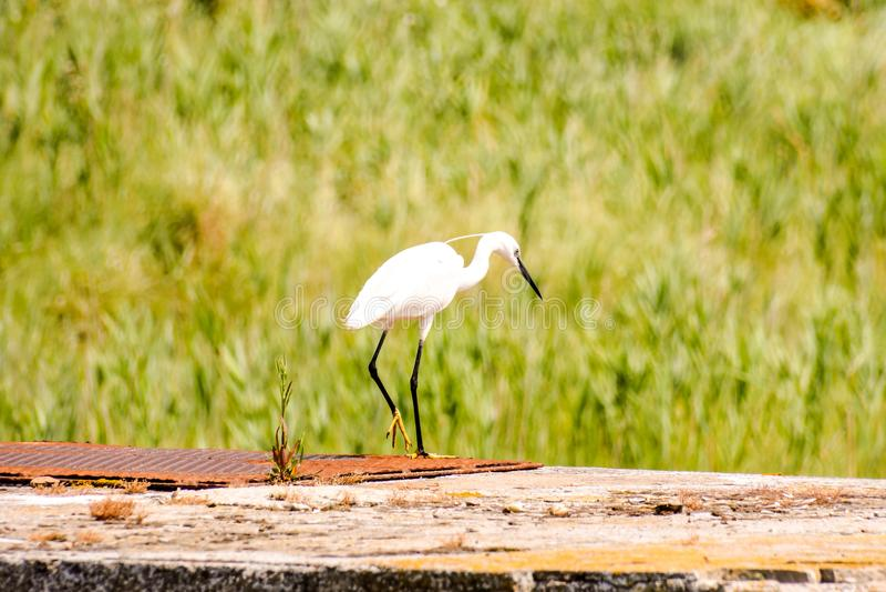 Great Egret, Ardea alba. Photo picture of Great Egret Ardea alba bird near delta Po river royalty free stock photos