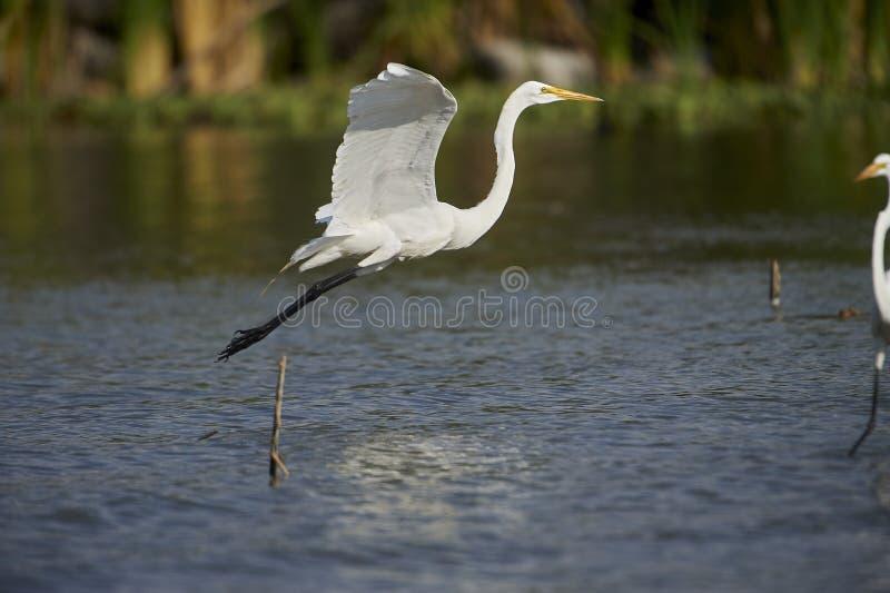 Great Egret Ardea alba takes off. From Lake Chapala, Ajijic, Jalisco, Mexico stock photos