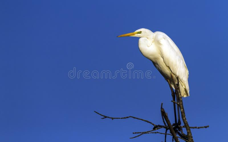 Great egret, ardea alba, on a tree, Neuchatel, Switzerland. Great, common or large egret, ardea alba, standing at the top of a tree by beautiful day, Neuchatel royalty free stock image