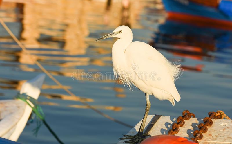 Download The Great Egret  Ardea Alba . White Heron Standing On A Boat In Marina. Stock Photo - Image: 83708121