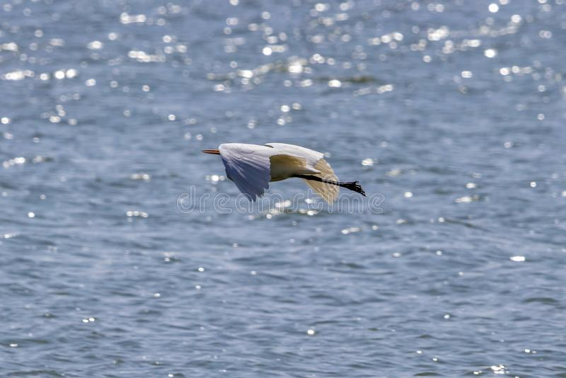 Great Egret Bird flying at its best. On its way royalty free stock photo