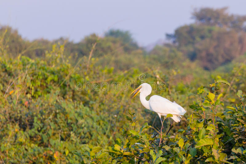 Download Great Egret Bird On The Nature In Pantanal Stock Photo - Image: 83710194