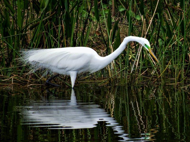 Great Egret, in breeding plumage, enjoying a quiet morning stock photo