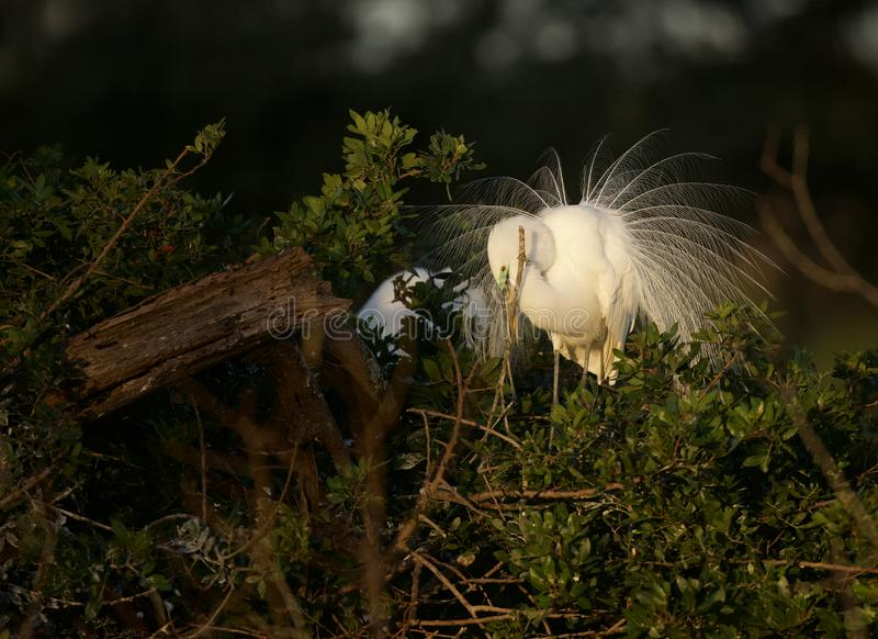 Great Egret in breeding plumage at Venice Rookery. A beautiful adult Great Egret in his breeding display plumage, fiddling with nesting material at dawn at royalty free stock photo