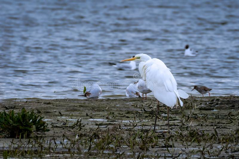 Great egret in bridal season. Great egret Ardea alba standing watching the marsh