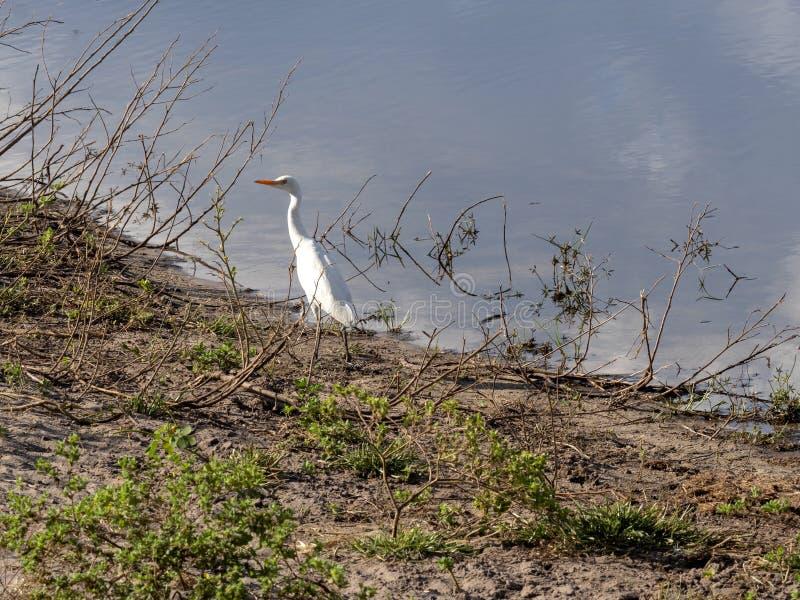 Great Egret, Casmerodius albus, Bwabwata Reservation, Namibia. The Great Egret, Casmerodius albus, Bwabwata Reservation, Namibia stock photo