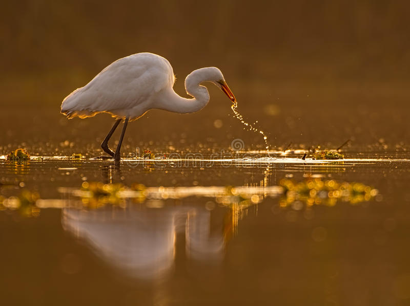 Great Egret Casmerodius albus. Looking for fish at sunrise stock photo